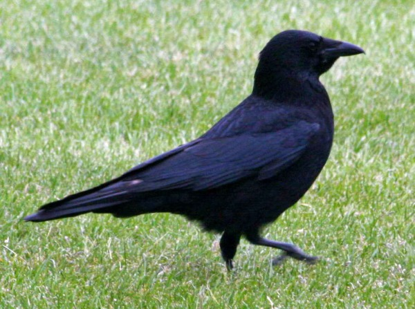 crow, carrion 05-26 SCOT